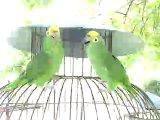 Попугаи поют хором)